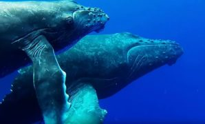 snorkel with whales scuba diving in maui hawaii,scuba diving maui,scuba diving maui hawaii,scuba diving on maui-min