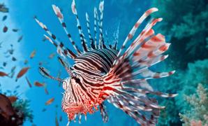 Lionfish Sting