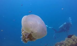 Jelly fish in the best places to scuba dive in the world