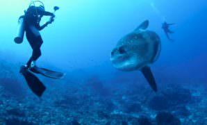 Mola Mola Sunfish Bali Season