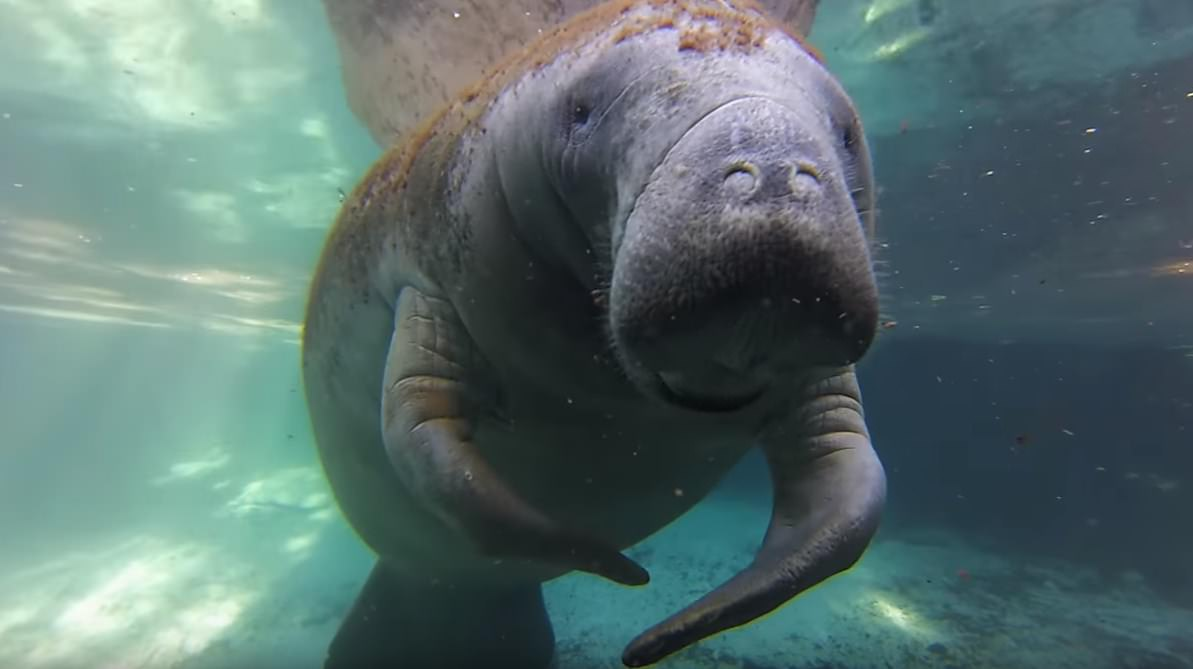 manatees dive Crystal River HD Pictures
